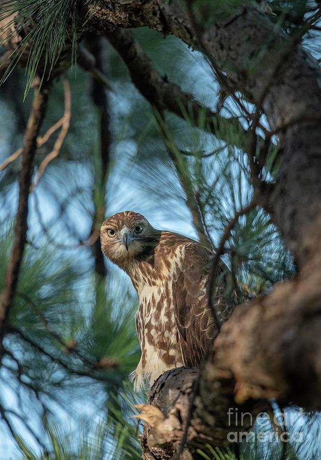 The Hawk Eye Stare Photograph