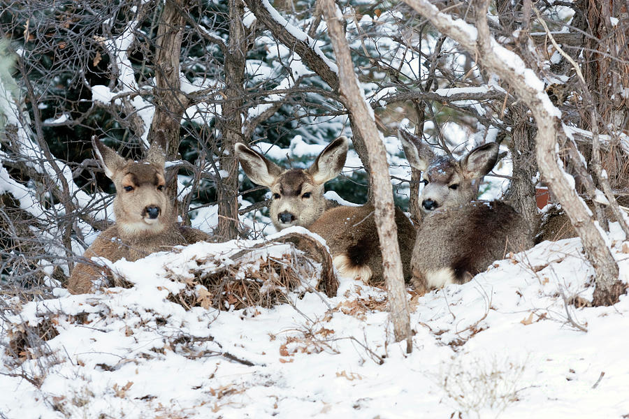 Three Does Resting In The Snow Photograph