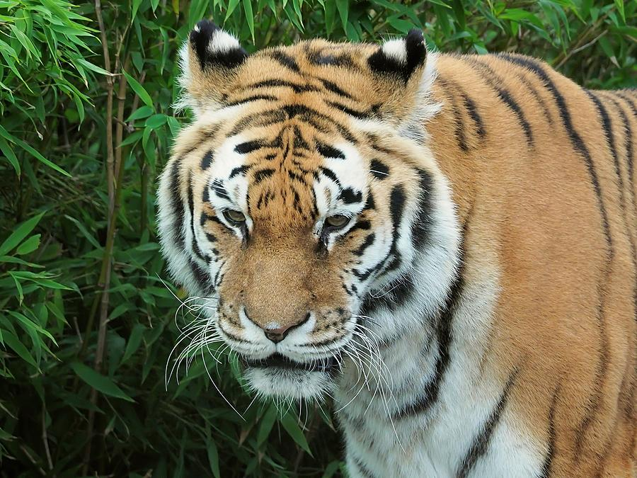 tigris tigris - Supporting World Wide Fund For Nature Photograph