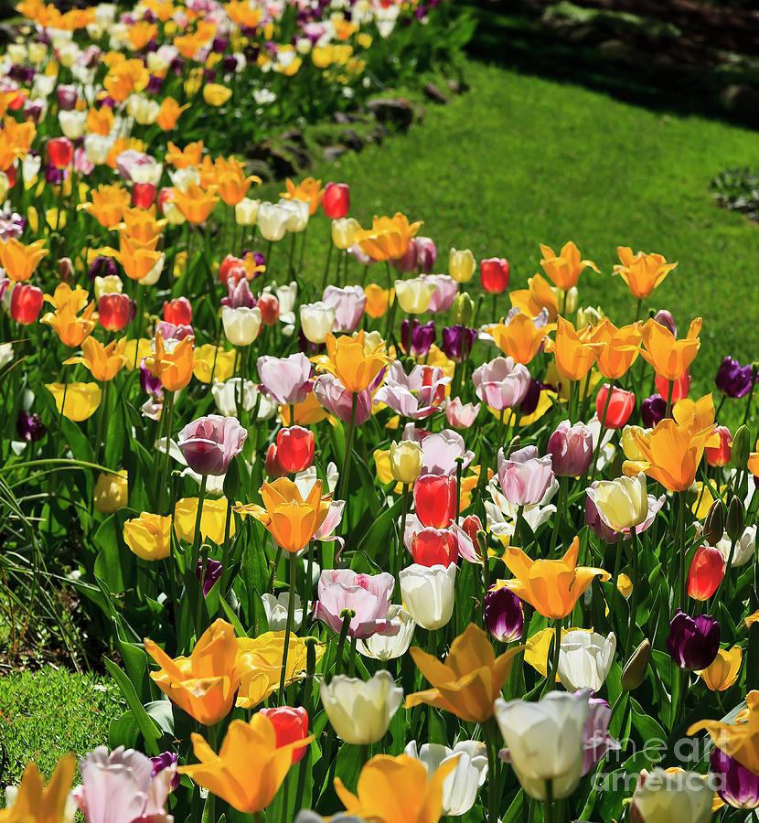 Tulip Flower Garden In A Springtime Yard Photograph