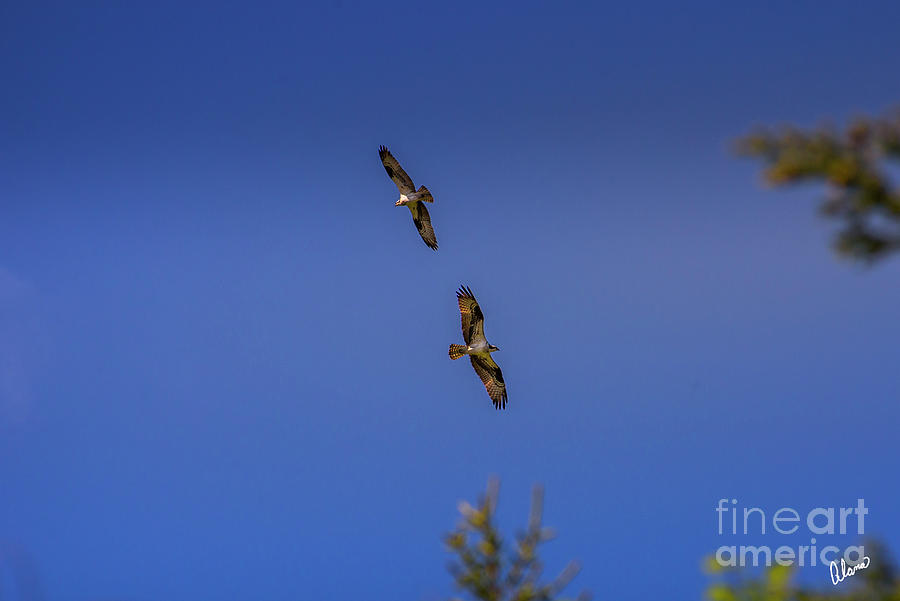 Two Osprey Photograph