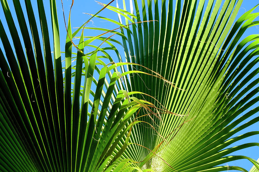 Two Palm Leaves Photograph