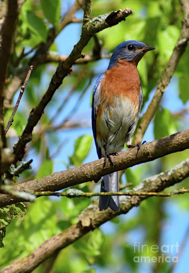 Vigilant Eastern Bluebird Photograph