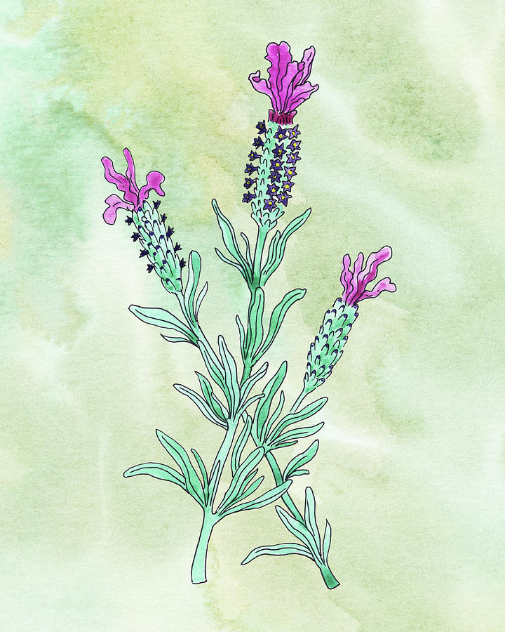 Watercolor French Lavender Botanical Painting