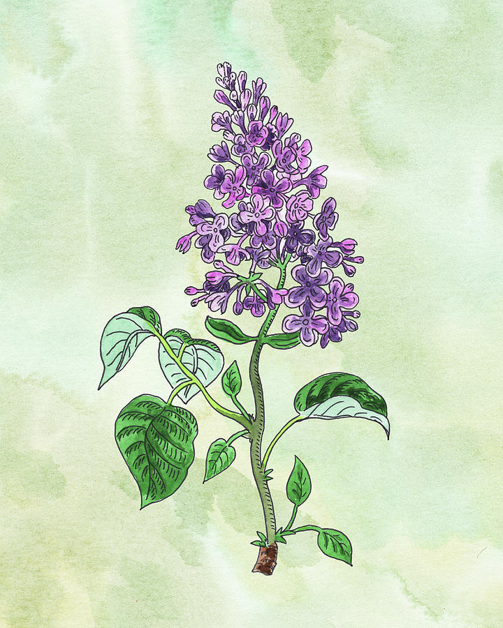 Watercolor Lilac Flower Botanical Painting
