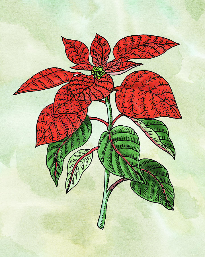 Watercolor Poinsettia Plant Botanical Painting