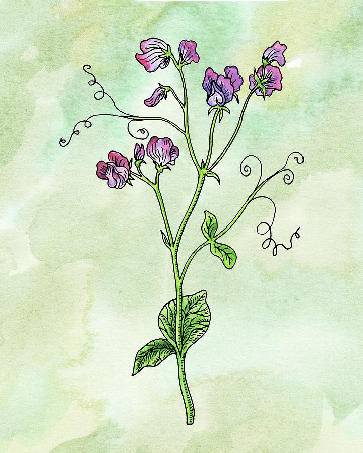 Watercolor Sweet Pea Flower Botanical Painting
