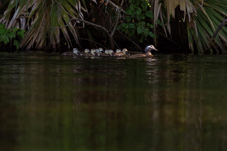 Wood Duck And Ducklings Photograph