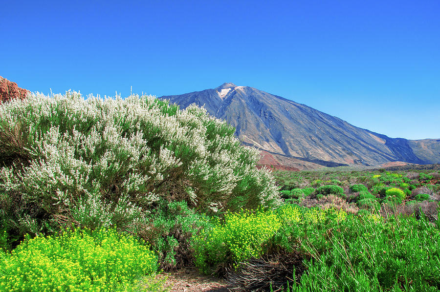 Yellow And White Flowering Shrubs In Front Of Mount Teide Photograph