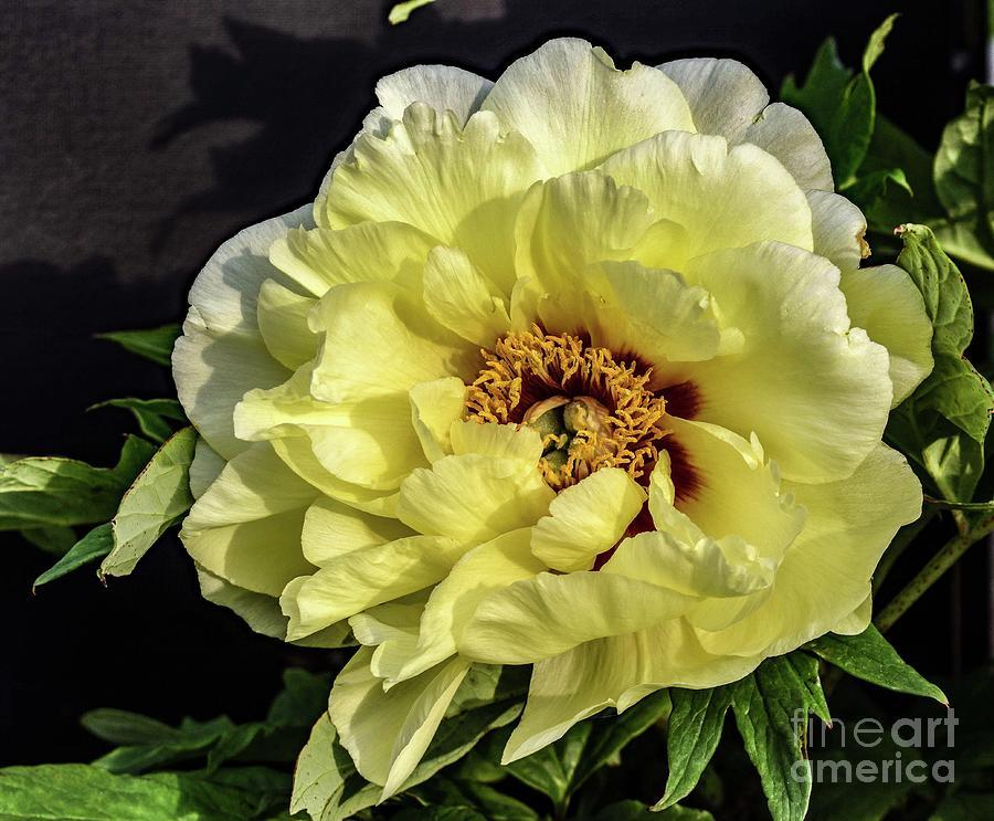 Yellow Beauty Itoh Bartzella Peony Photograph
