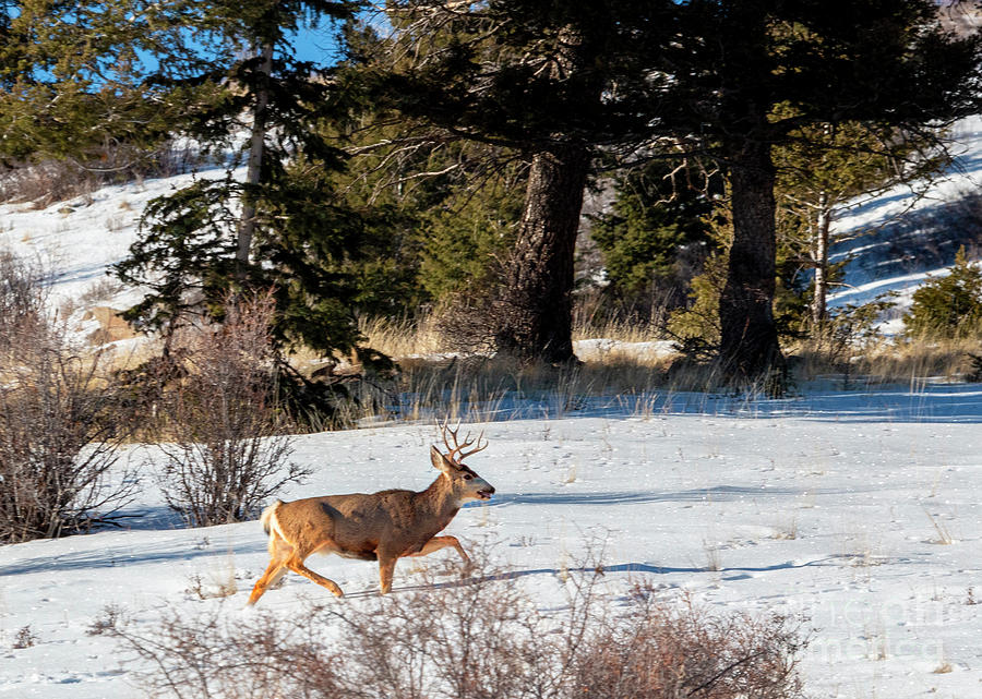 Young Buck In Deep Snow Photograph