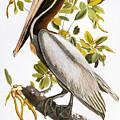 Audubon: Pelican by Granger
