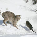 Bobcat Lynx Rufus Hunting Muskrat by Michael Quinton