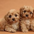 Cavapoo Pups by Mark Taylor