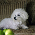 Fifi The Bichon Frise  by Michael Ledray