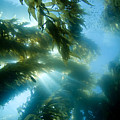 Giant Kelp Forest by Dave Fleetham - Printscapes