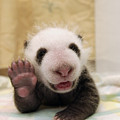 Giant Panda Ailuropoda Melanoleuca Cub by Katherine Feng