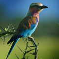 Lilac Breasted Roller by Joseph G Holland