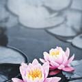 Lotus Blossoms by Elena Elisseeva