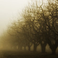 Orchard In Fog by Rebecca Cozart