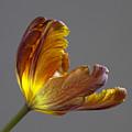 Parrot Tulip 21 by Robert Ullmann