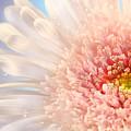 Pink Daisy  by Sandra Cunningham