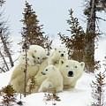 Polar Bear Ursus Maritimus Trio by Matthias Breiter