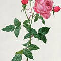 Rosa Indica by Pierre Joseph Redoute