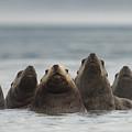 Stellers Sea Lion Eumetopias Jubatus by Michael Quinton