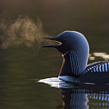 The Call Of The Loon by Tim Grams