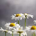 White Daisies by Carlos Caetano