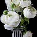 White Ranunculus In Black And White Vase by Garry Gay