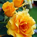 Yellow Roses by Amy Fose