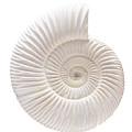 Ammonite by Gavin Kingcome