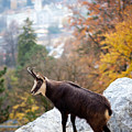 Goat In The Austrian Alps by Andre Goncalves