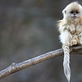 Golden Snub-nosed Monkey Rhinopithecus by Cyril Ruoso
