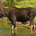 Moose by Sebastian Musial