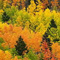 Quaking Aspen And Ponderosa Pine Trees by Ralph Lee Hopkins