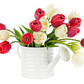 Red And White Tulips by Elena Elisseeva