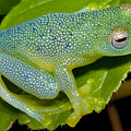 Spiny Glass Frog by Dante Fenolio