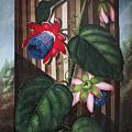 Thornton: Passion-flower by Granger