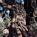 2000 Year Old Olive Tree by Thomas R Fletcher