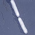 Proteus Vulgaris Bacteria, Sem by Thomas Deerinck, Ncmir
