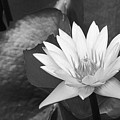 Water Lily by Bill Brennan - Printscapes