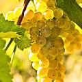 Yellow Grapes by Elena Elisseeva