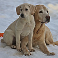 Yellow Labradors by Steven Lapkin