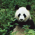 Giant Panda Ailuropoda Melanoleuca by Cyril Ruoso
