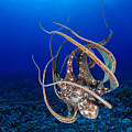 Hawaii, Day Octopus by Dave Fleetham - Printscapes