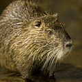 A Beaver From The Omaha Zoo by Joel Sartore