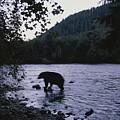A Black Bear Searches For Sockeye by Joel Sartore